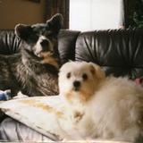 秋田犬とマルチーズ2